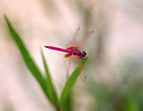 Una libellula rossa Fotografia Stock