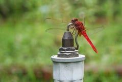 Una libellula rossa Fotografia Stock Libera da Diritti