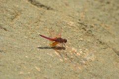 Una libellula rossa con le ali outstreched che riposano su una roccia Fotografie Stock Libere da Diritti