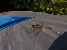 Una libellula si siede su una tenda Fotografia Stock