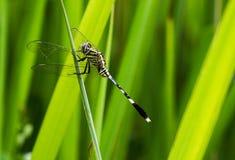 Una libellula snella verde della scrematrice fotografia stock libera da diritti