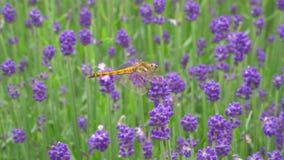 Una libellula su lavanda o sul lavandula in un giardino in Gunma archivi video