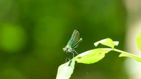 Una libellula verde si siede su una foglia e dissolve le sue ali stock footage