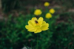 Una ligamaza del hallazgo de la abeja en el polen de la flor, el primer del cosmos y el starship amarillo florecen en el borde de Imágenes de archivo libres de regalías