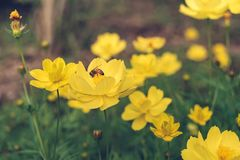 Una ligamaza del hallazgo de la abeja en el polen de la flor, el primer del cosmos y el starship amarillo florecen en el borde de Imagen de archivo libre de regalías