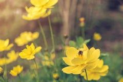 Una ligamaza del hallazgo de la abeja en el polen de la flor, el primer del cosmos y el starship amarillo florecen en el borde de Foto de archivo libre de regalías