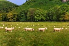 Una linea di quattro pecore nel sole di sera in una regolazione rurale idilliaca Immagine Stock Libera da Diritti
