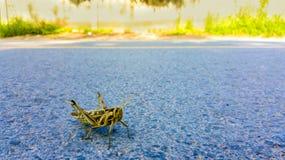 Una locusta di Bombay, succincta di Nomadacris è solitamente un insetto isolato La locusta nella venuta nella città e sulla via fotografia stock libera da diritti