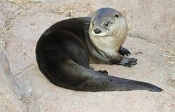 Una lontra di fiume si asciuga su una roccia Immagini Stock Libere da Diritti