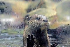 Una lontra dietro il vetro di finestra Immagini Stock