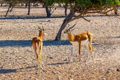 Una lotta di due giovani antilopi in un parco di safari su Sir Bani Yas Island, Abu Dhabi, UAE immagine stock