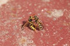Una lotta di due vespe Immagine Stock Libera da Diritti