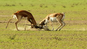 Una lotta territoriale fra i blackbucks Fotografie Stock Libere da Diritti