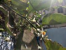 Una luce del fiore al sole Fotografie Stock Libere da Diritti