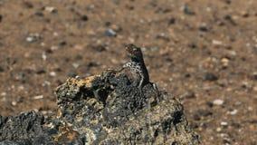 Una lucertola della lava sul bartolome di isla nei galalagos archivi video