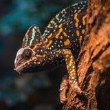 Una lucertola velata del camaleonte Fotografia Stock
