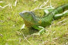 Una lucertola verde fotografie stock