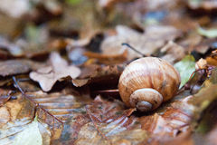 Una lumaca della vigna in fogliame bagnato in autunno Le foglie sono umide Fotografie Stock Libere da Diritti