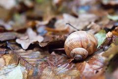 Una lumaca della vigna in fogliame bagnato in autunno Le foglie sono umide Immagine Stock