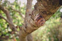 Una lumaca su un ramo di albero striscia attraverso un albero Immagini Stock Libere da Diritti