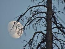 Una luna que encera es un gran descenso trasero para este viejo gancho magnífico Foto de archivo