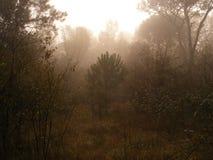 Una mañana en madera de pino imagen de archivo