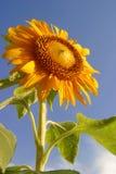 Una mañana hermosa, un girasol y un cielo azul Fotografía de archivo