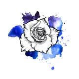 Una macchia informe blu luminosa dell'acquerello Linea grafico del fiore dell'inchiostro di Rosa fotografia stock
