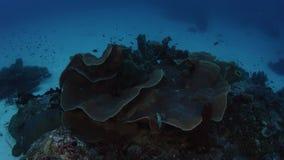 una macchina fotografica da 360 gradi che segue intorno ad un grande corallo del poro stock footage