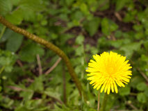 Una macro aisló el tiro de una cabeza de flor amarilla del diente de león en el b Imagen de archivo