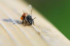 Una macro de la abeja Imágenes de archivo libres de regalías