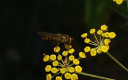 Una macro de un Hoverfly en una flor amarilla Fotografía de archivo