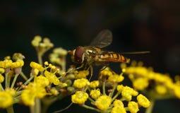 Una macro de un Hoverfly en una flor amarilla Imágenes de archivo libres de regalías