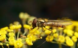 Una macro de un Hoverfly en una flor amarilla Fotos de archivo