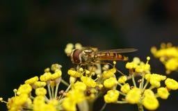 Una macro de un Hoverfly en una flor amarilla Foto de archivo