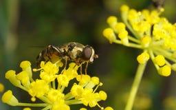 Una macro de un Hoverfly en una flor amarilla Fotografía de archivo libre de regalías