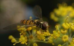 Una macro de un Hoverfly en una flor amarilla Fotos de archivo libres de regalías