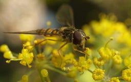 Una macro de un Hoverfly en una flor amarilla Imagen de archivo