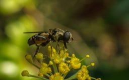 Una macro de un Hoverfly en una flor amarilla Imagenes de archivo