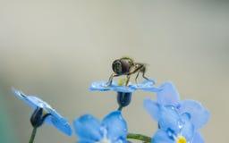 Una macro de un Hoverfly en una flor azul de la nomeolvides Imagenes de archivo