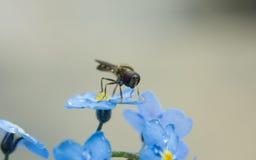 Una macro de un Hoverfly en una flor azul de la nomeolvides Fotografía de archivo libre de regalías