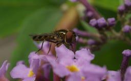 Una macro de un Hoverfly en una flor púrpura Foto de archivo