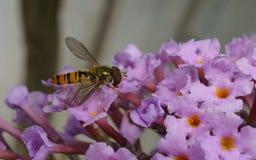 Una macro de un Hoverfly en una flor púrpura Fotografía de archivo