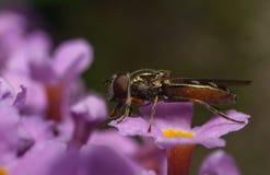 Una macro de un Hoverfly en una flor púrpura Imagen de archivo libre de regalías