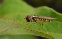 Una macro de un Hoverfly en una hoja verde Fotos de archivo libres de regalías