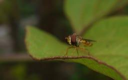 Una macro de un Hoverfly en una hoja verde Foto de archivo libre de regalías