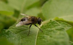 Una macro de un Hoverfly en una hoja verde Foto de archivo