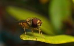 Una macro de un Hoverfly en una hoja verde Fotografía de archivo