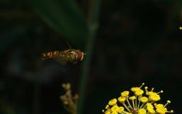 Una macro de un Hoverfly que asoma cerca de una flor amarilla Fotografía de archivo