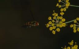 Una macro de un Hoverfly que asoma cerca de una flor amarilla Imagenes de archivo